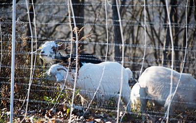 Grazing goats guard Garvin