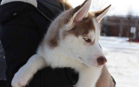 Dog of the week: Theo, the husky