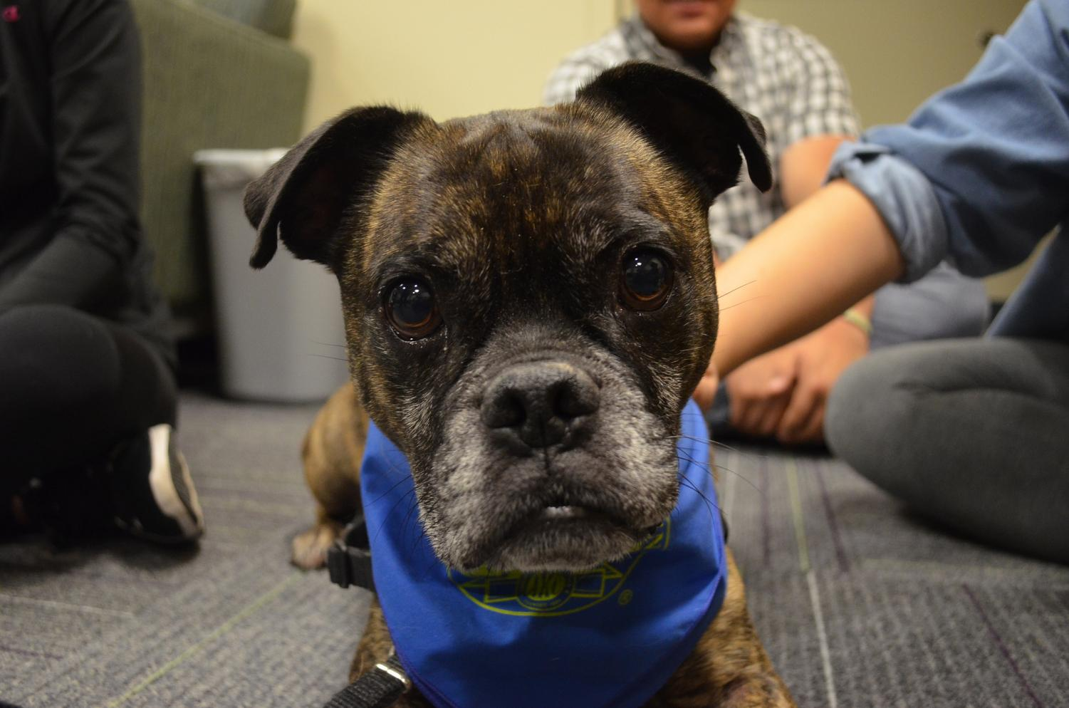 Aiden is the six-year-old boxer pug who has taken over the hour long therapy dog slot in place of Winston on Monday nights from 4 - 5 p.m. in IWC 267. Aiden loves to sit in peoples laps and give big, wet kisses.