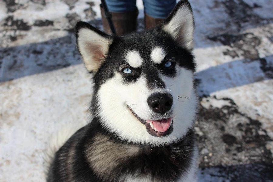 Dog of the week: Luna, the husky